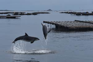 Bottlenose dolphins and aquaculture