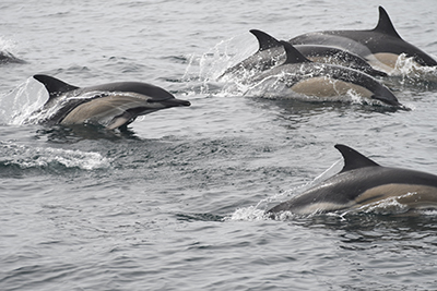 Common dolphins in Galicia, NW Spain